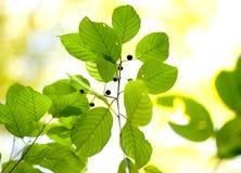 Beeren und Grün Lizenzfreie Stockfotos