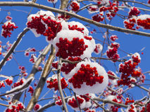 Beeren und Niederlassungen der Eberesche umfasst mit Schnee Stockfoto