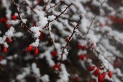 Beeren und Schnee Lizenzfreie Stockbilder