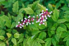 Beeren von Actaea pachypoda lizenzfreie stockfotos