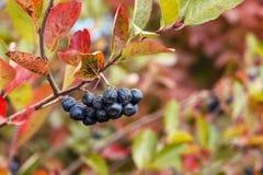 Beeren von Chokeberry auf Busch im Garten stockbild