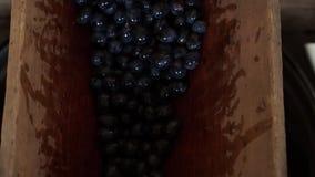Beeren von dunklen Trauben unten erdrosseln und ausfallen stock video