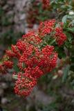 Beeren von Firethorn Bush Stockbild
