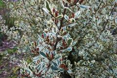 Beerenbaum mit einem festlichen Hintergrund Stockfotografie