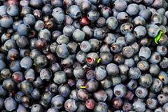 Beerenblaubeerhintergrund Viele von frischem sammelte ich im Wald Lizenzfreie Stockbilder