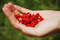 Beerennahrung - menschliche Hand, die rote Erdbeere anhält Stockfotografie