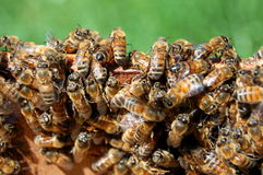 Free Bees Royalty Free Stock Photos - 14607678