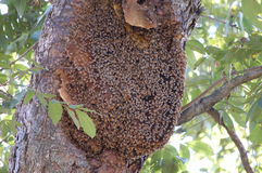 Bees. A large honeycomb covered with bees Royalty Free Stock Photography