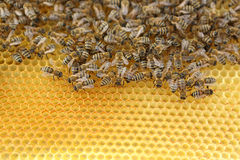 Bees. Honey Bees on their hive Royalty Free Stock Photo