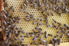 Bees. Stock Image