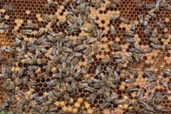 Bees. Working on making honey Stock Photography