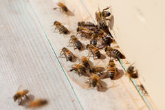 Bees. Royalty Free Stock Photo