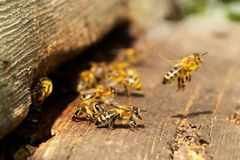 Bees. Group of bees near a beehive, in flight Stock Images
