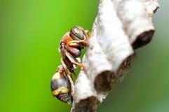 Bees. Macro shot of working bee Stock Photography