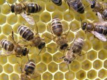 Bees. Young bees grow honeycombs on the scope of beehive. Down on the right quite young bee. In the honeycombs of bee can place nectar or honey. An uterus in Royalty Free Stock Photo