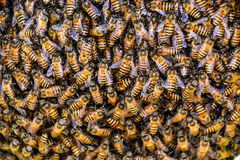 Free Bees Royalty Free Stock Images - 50199119