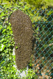 Bees. Colony of bees attached to a stone column Stock Photo