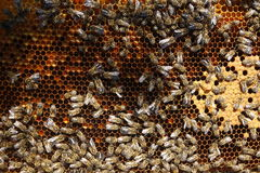 Bees. A colony of bees working on honeycomb stock photo