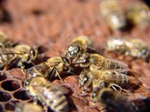 Bees. Honey bees team work Royalty Free Stock Photos