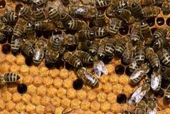 Bees. On the orange-yellow honeycomb Royalty Free Stock Photos