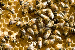 Bees. Honey bees working on a honeycomb Stock Photography