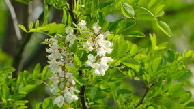 Bees And Acacia Tree In Blossom. CLOSE UP. Several branches of beautiful white acacia tree in full blossom with lots of small gentle flowers and green leaves stock video footage