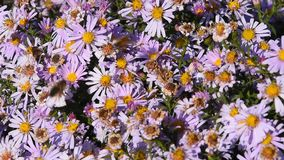 Bees in action pollen pink summer flowers stock video footage