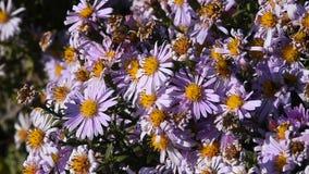 Bees in action pollen pink summer flowers stock video