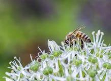 Bees on Allium sphaerocephalon Stock Photos