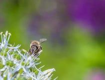 Bees on Allium sphaerocephalon Stock Image