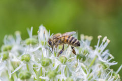 Bees on Allium sphaerocephalon Stock Photo