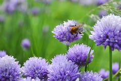 Bees on Allium sphaerocephalon. Allium Drumstick, also known as sphaerocephalon, produces two-toned, Burgundy-Green flower heads. stock photos