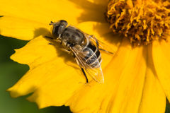 Free Bees And Flowers Stock Photo - 34383650