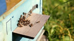 Bees in the apiary stock video footage
