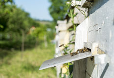 Bees in the apiary Royalty Free Stock Images