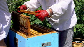 Bees in apiary. Two beekeepers working in apiary to produce honey. stock footage
