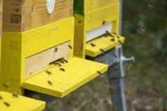 Bees apis mellifera Royalty Free Stock Images