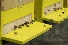 Bees apis mellifera Stock Image
