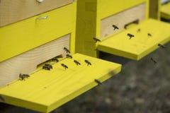 Bees apis mellifera Stock Images