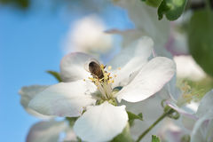 Bees in the apple blossom Stock Photos