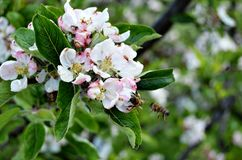 Bees and apple blossom Stock Photography