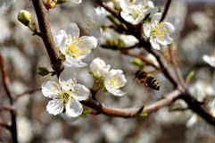 Bees and Apple Blossom Royalty Free Stock Photo