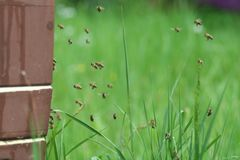 Bees in approach. Flying back to their hive Stock Photography