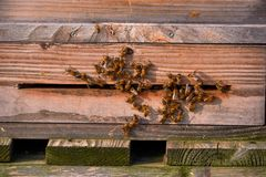Bees arrive in beehive. With pollen royalty free stock images
