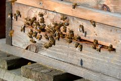 Bees arrive in beehive. With pollen stock photography