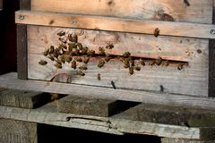 Bees arrive in beehive. With pollen royalty free stock image