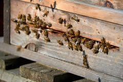 Bees arrive in beehive. With pollen royalty free stock photos