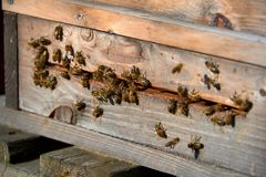 Bees arrive in beehive. With pollen royalty free stock photography