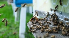 Bees attacked by hornets at the hive. Bee killer hornet. Slow-motion video. stock footage