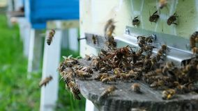 Bees attacked by hornets at the hive. Bee killer hornet . Slow-motion video. stock video